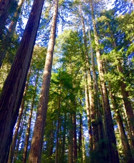Muir Woods Pic